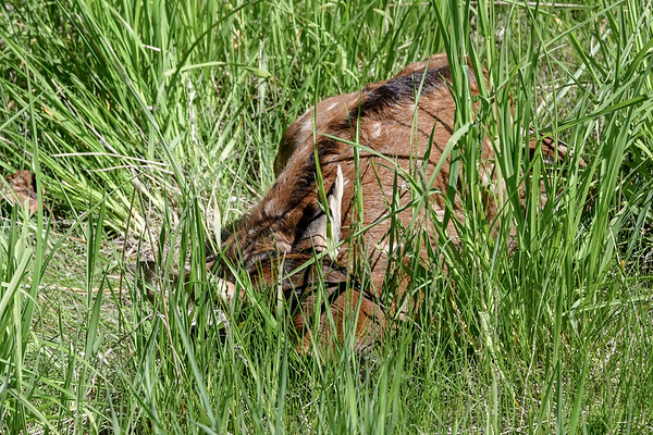 6-12-18 *^Fawn - Hiding In Plain Sight