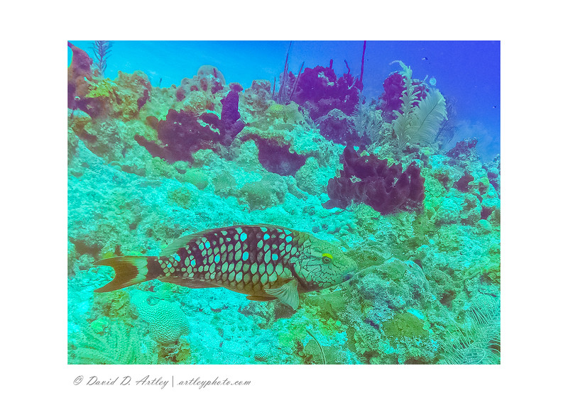 Reef Scene with , off 7 Mile Beach with Parrotfish, Grand Cayman Island