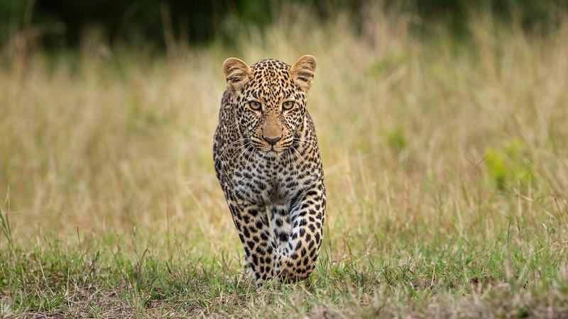 Leopard-koboso-subadult-masaimara.jpg