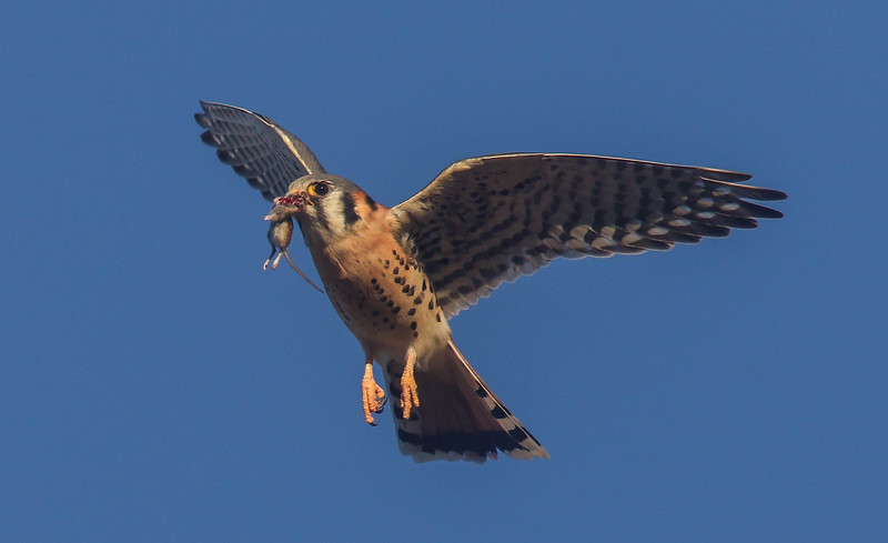 American Kestrel with Vole