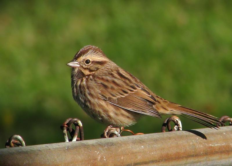 song_sparrow_5208.jpg