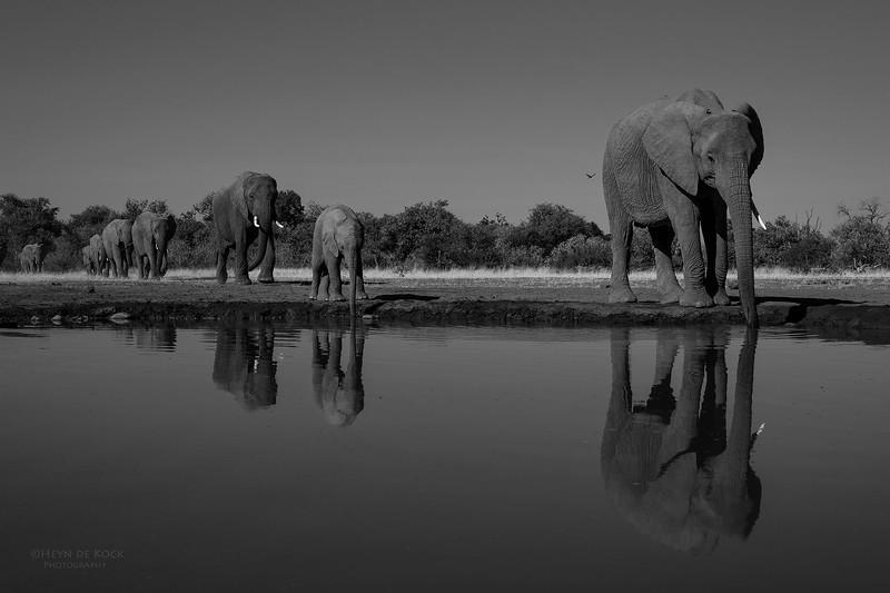 African Elephant, b&w, Mashatu GR, Botswana, May 2017-6.jpg