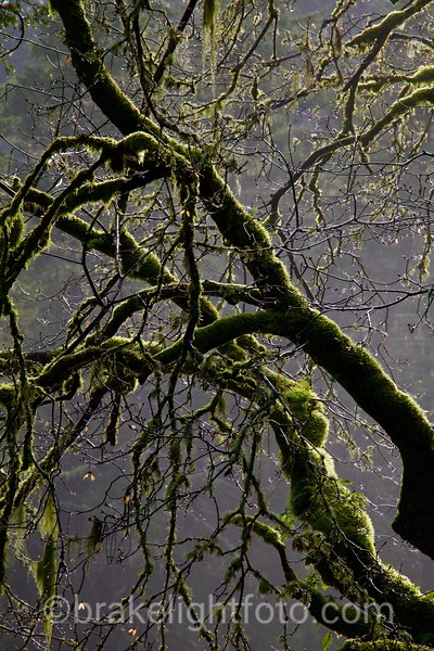 Moss Covered Tree
