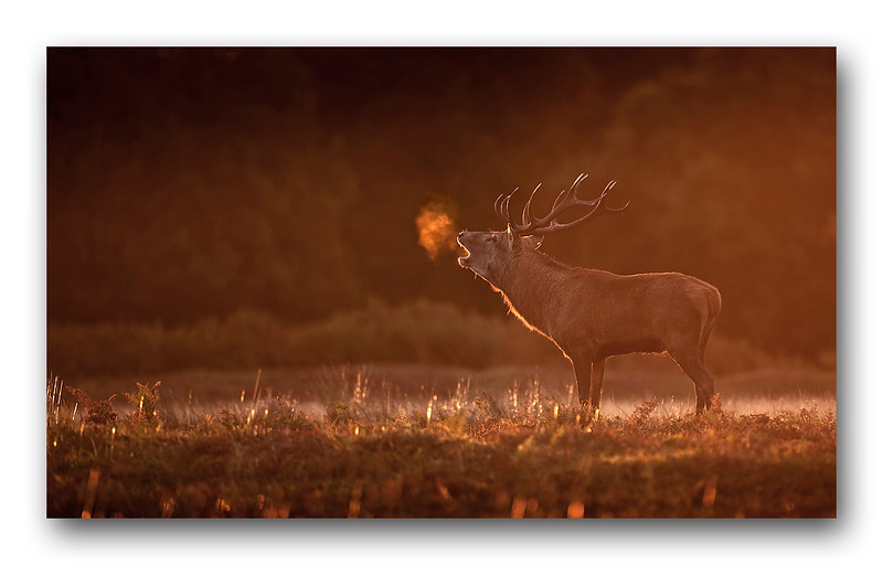 Red Deer Stag Bradgate 16-2.jpg
