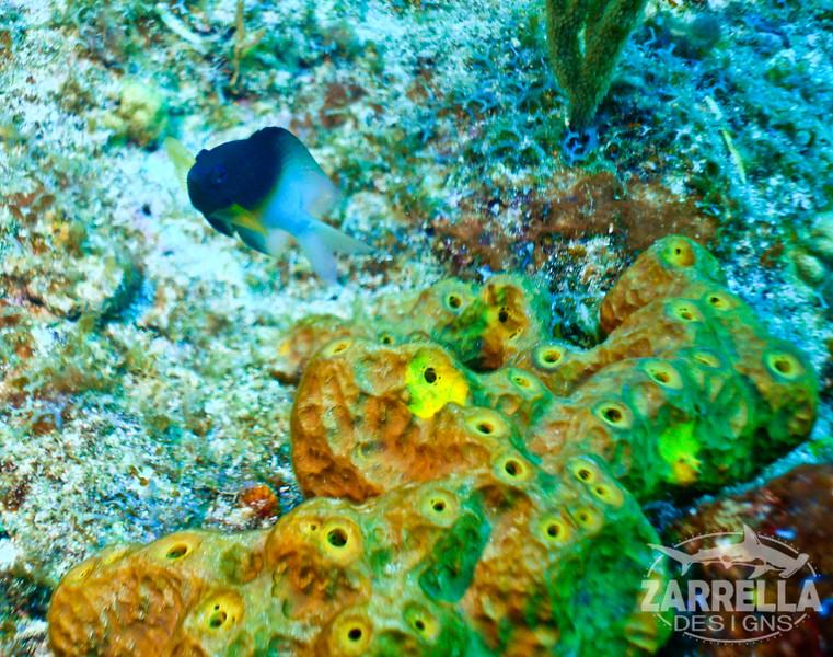 """""""Hello!"""" (Fishbowl Reef, St. Maarten)"""