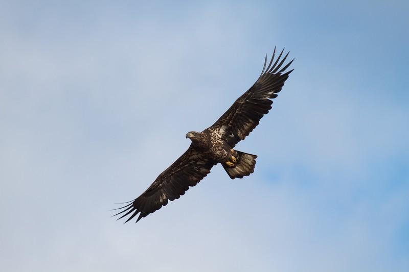 Bald Eagle Wisconsin Pt Superior WI IMG_0031209.jpg