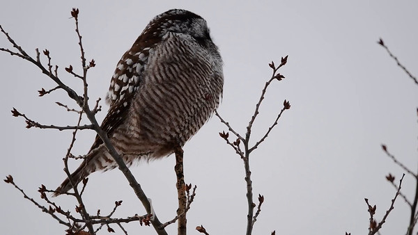 2-17 Video Northern Hawk Owl