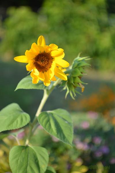 Sunflower Lonay_20092020 (7).JPG