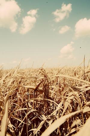 Harvesting Rice 2010