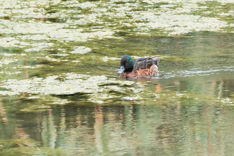 Chestnut Teal Duck