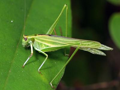 Katydids - suborder Ensifera