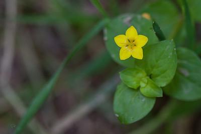 Lysimaque des bois (Lysimachia nemorum)