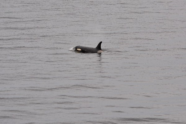 Orcas Near The Brothers Islands - Twenty-Five Seconds of Surfacing