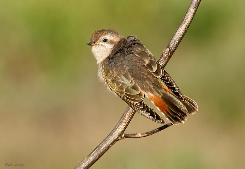 Horsfield's Bronze-Cuckoo.jpg