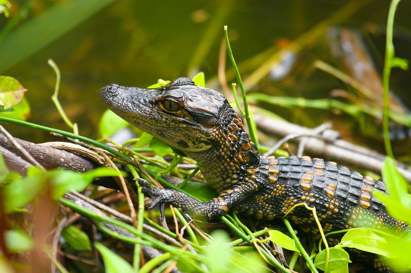American alligator (Alligator mississippiensis)