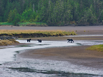 Bears in Tongas Forest