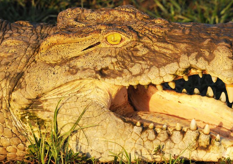 069_Crocodile close up.jpg