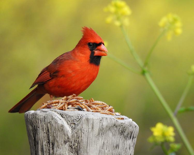 Cardinal snacking!!