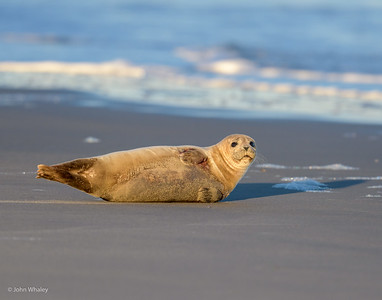 Seals on Assateague Island