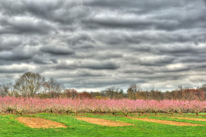 peach blossoms 5.jpg