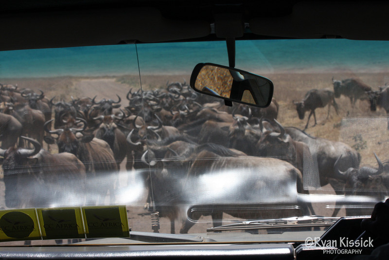 A wildebeest herd blocks the road in front of our car