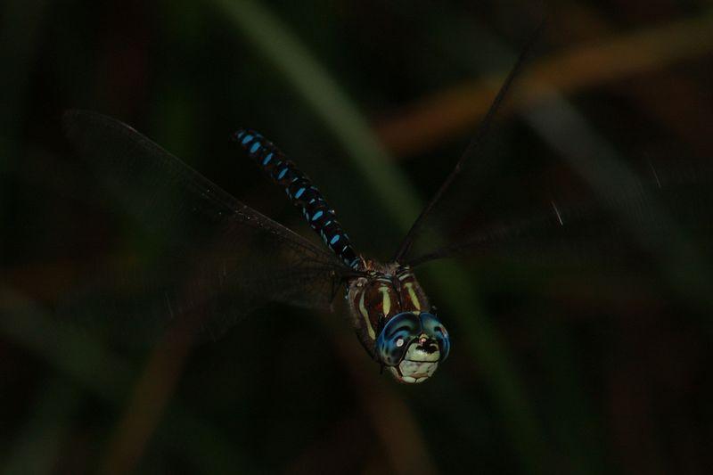 bluedragonflyinflight5.jpg