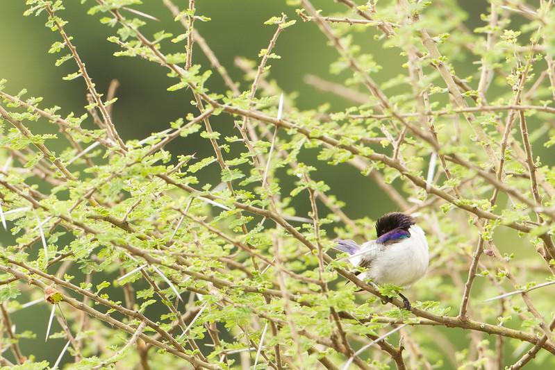 Eastern Violet-backed Sunbird - Lake Manyara National Park, Tanzania