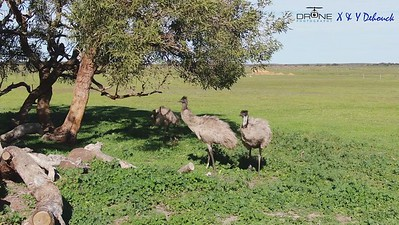 Nambung Park Emu's