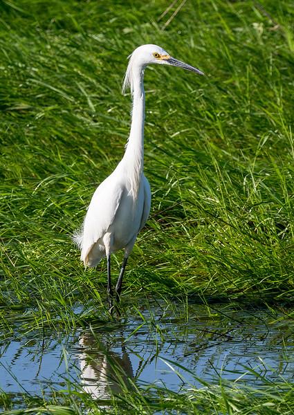 Juvenile egret.jpg