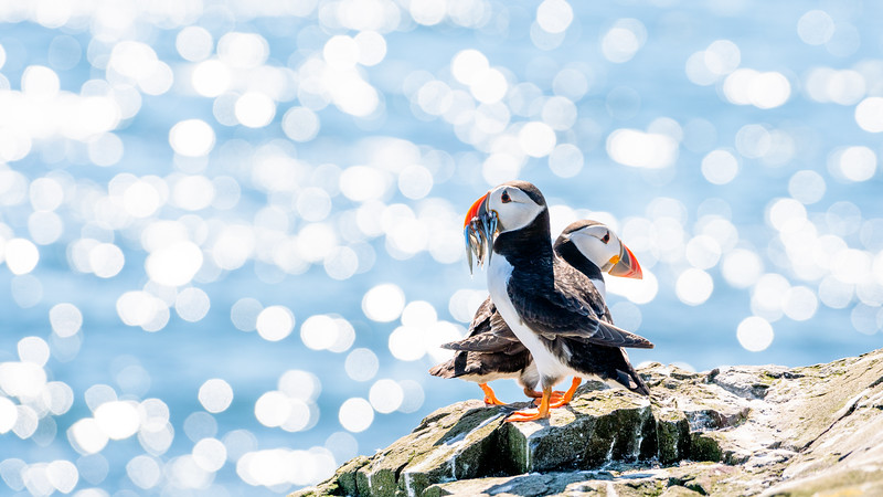 A Puffin's Tale