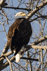 Same eagle slightly different pose.