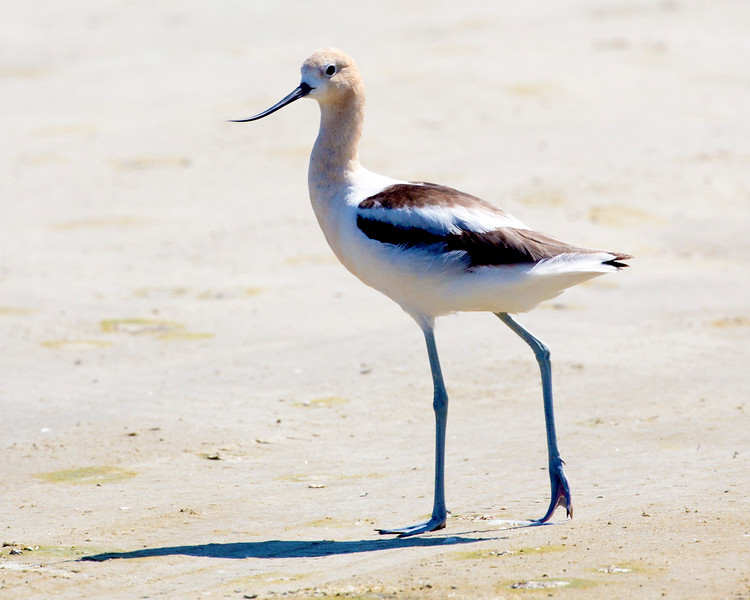 We now drive around Galveston's East End and meet this American Avocet.