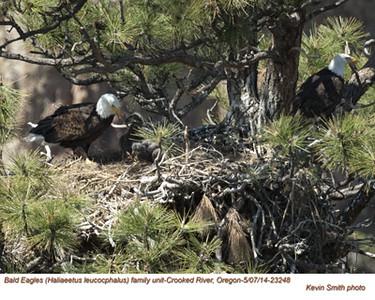 Bald Eagles Family 23248.jpg