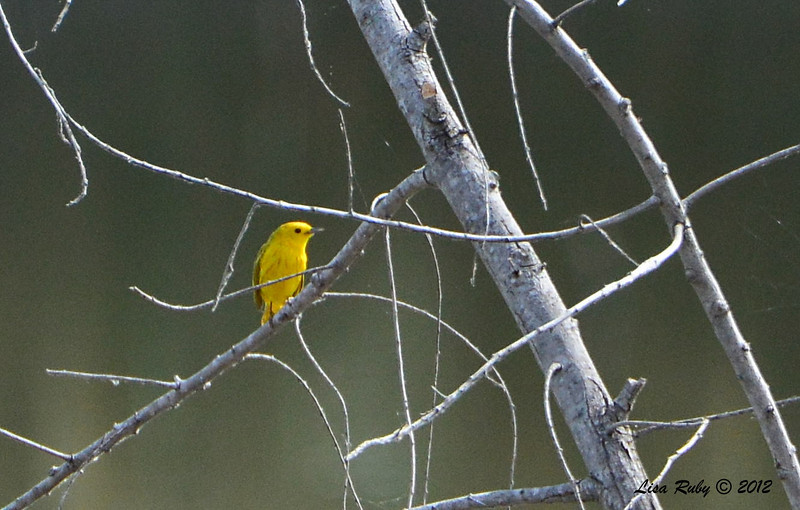 Yellow Warbler -  6/15/2014 - Dairy Mart Ponds