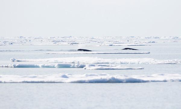 Svalbard Mammals