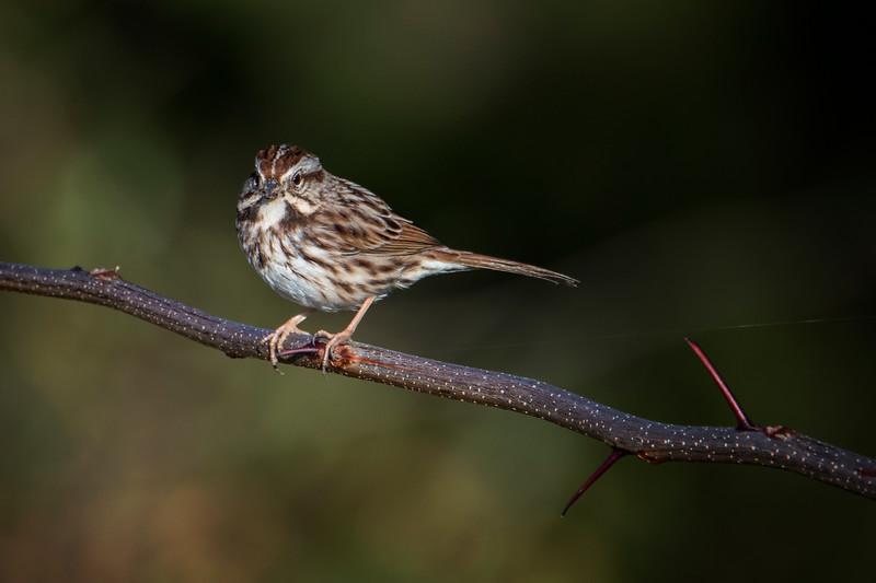 2.26.18 - Blackburn Creek Fish Nursery: Song Sparrow