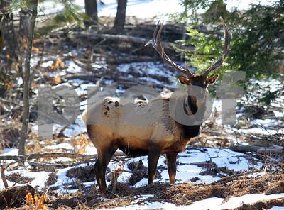 PA Wilds Elk