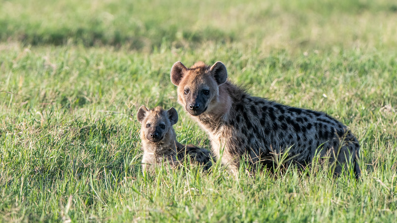 A Spotted Hyena and Cub