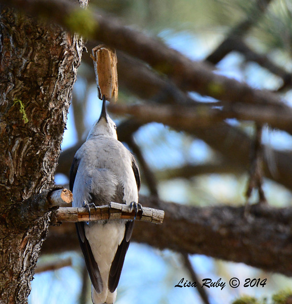 Clark's Nutcracker - 2/23/14 - Mount Laguna, Trail 7