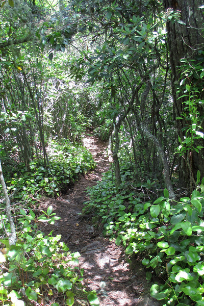 Lined with a thick carpet of Galax, the trail started to steepen as I neared the river...