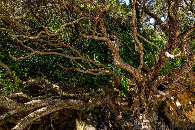 Pohutukawa Baum