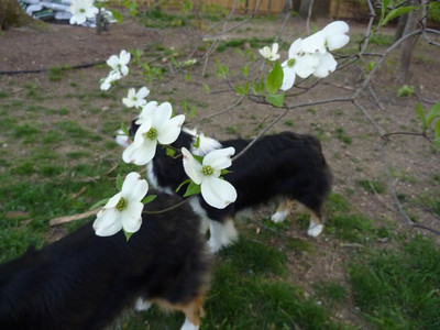 Dogwood and Dogs 4-12