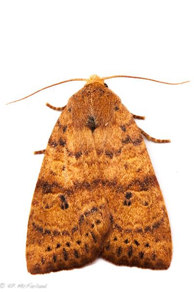 Dotted Sallow Moth (Anathix ralla)