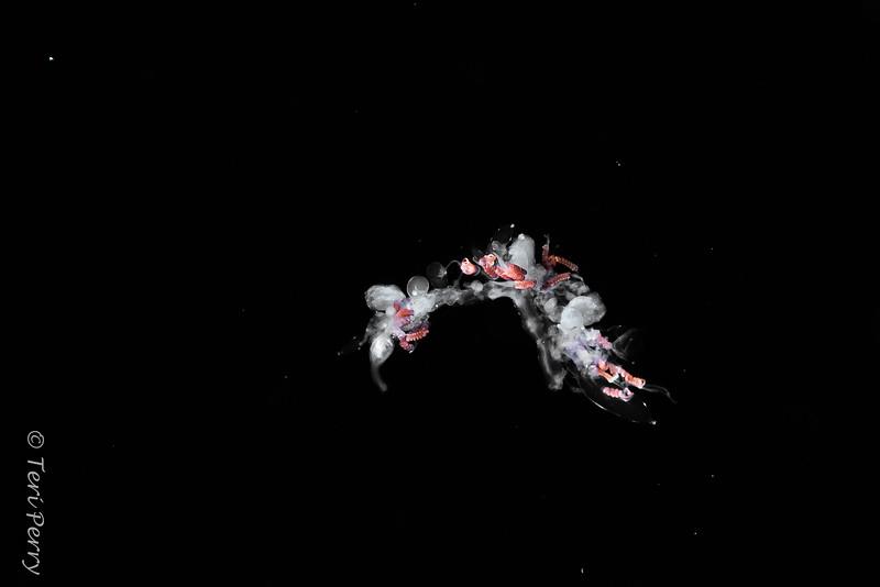 BLACKWATER - Jellyfish / salp-0957-Edit.jpg