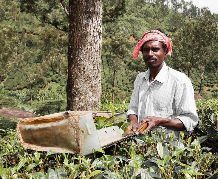 teapicker.jpg