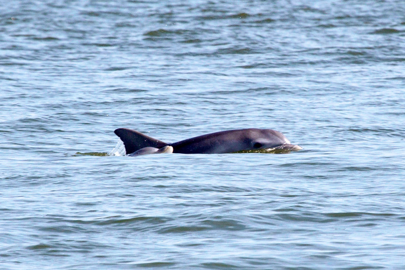 Two Porpoises swimming in the Channel ...