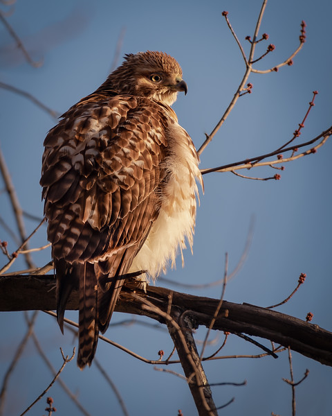 Red-Tailed Hawk sunrise