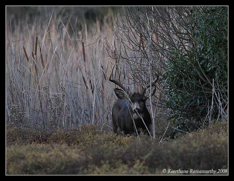 Mule Deer Stag, San Elijo Lagoon, El Camino Real Trail, San Diego County, California, December 2008