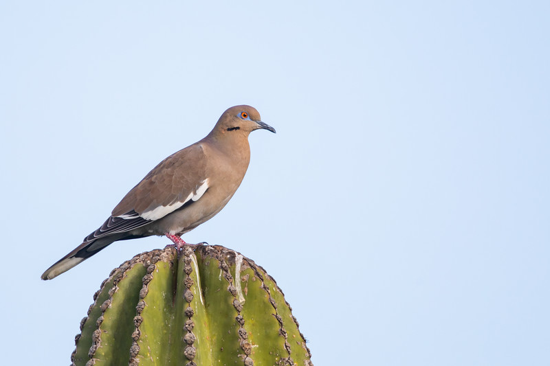 White-winged Dove - Baja California, Mexico