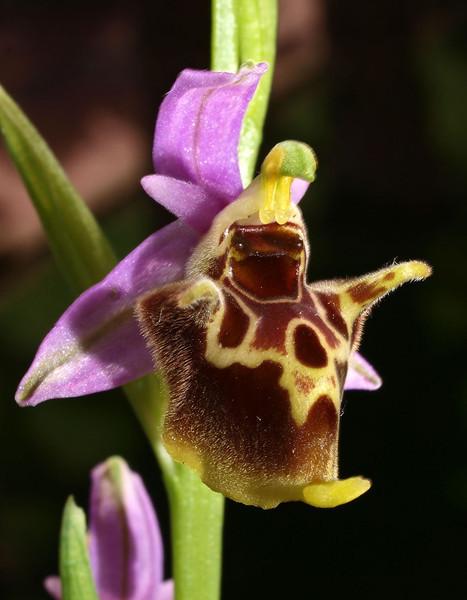 O. heldreichii ssp. calypsus  Bodrum 07-04-10 (4).jpg
